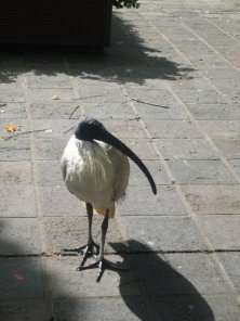 An Ibis