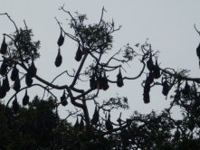 Bats in the botanic gardens